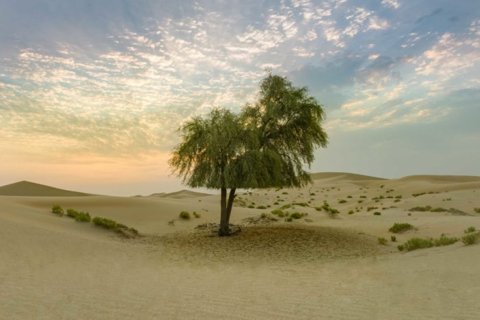 September Ghaf: A proud Emirati Ghaf tree at sunrise; An ode to the beauty and resilience of the Emirati desert.